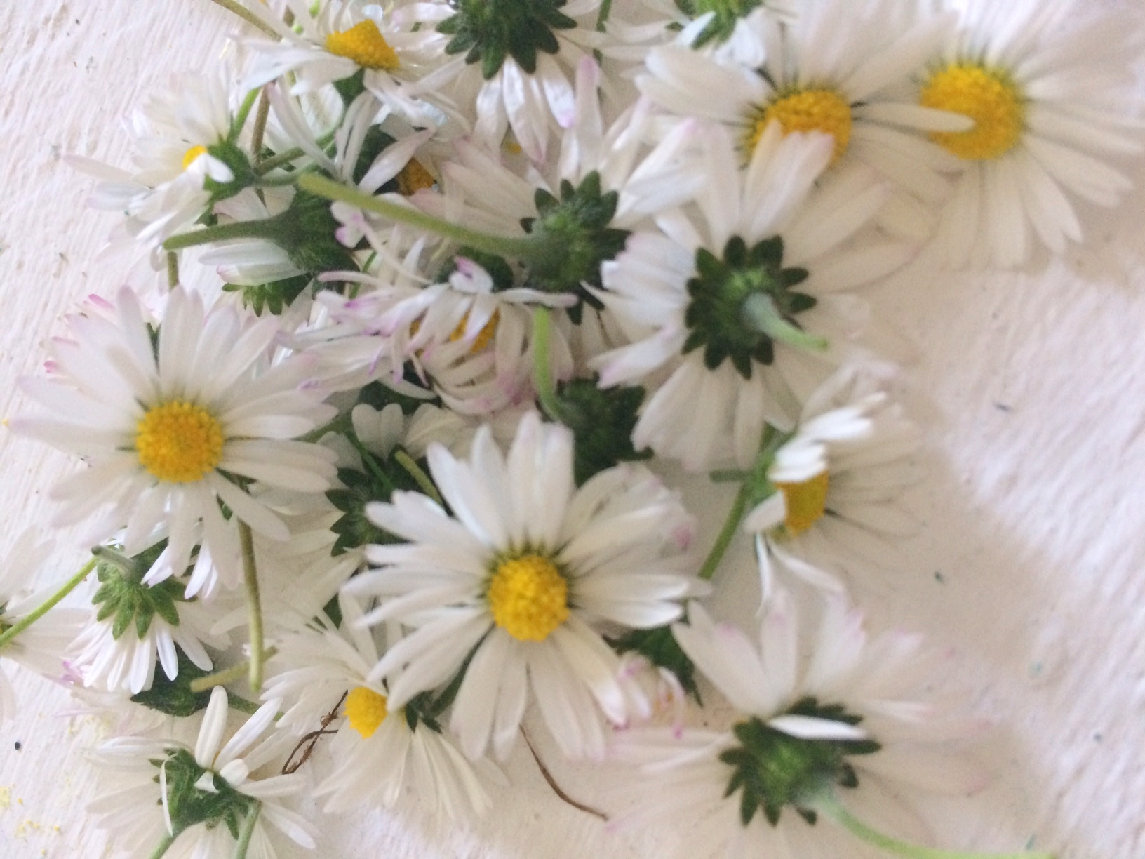 Küchenkränzchen Gänseblümchen Tinktur