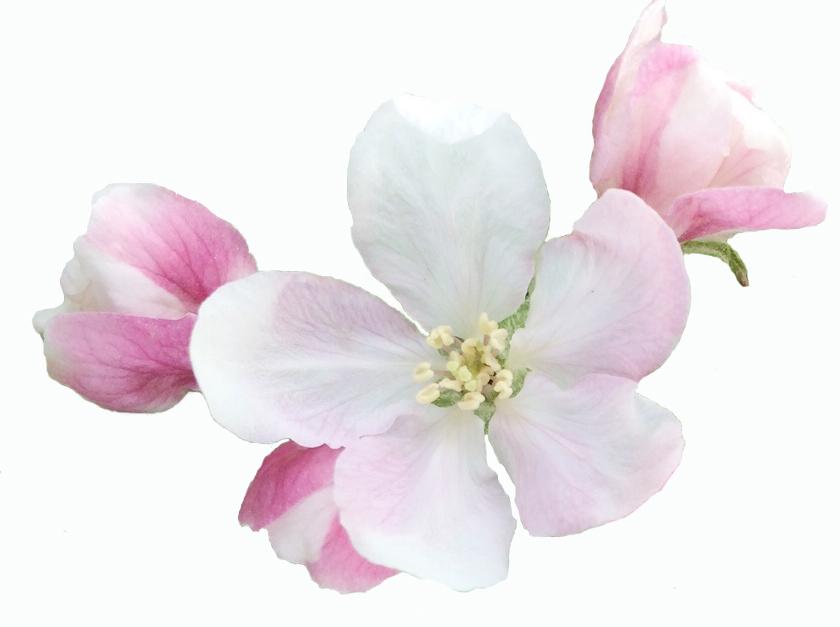 Apfelblüte Barbarazweige